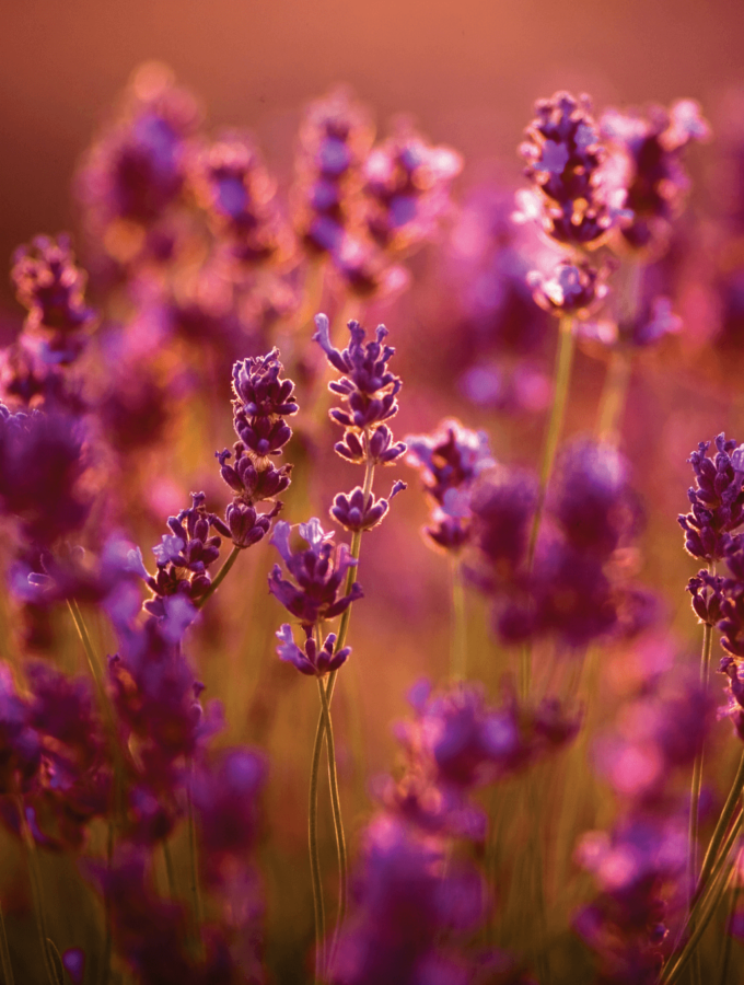 How to Use Lavender Oil for Your Face