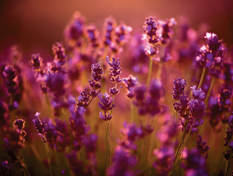 Learn all about how to use lavender essential oil for your face. Adding lavender essential oil to your skin care will leave you with younger, smoother, amazing skin!